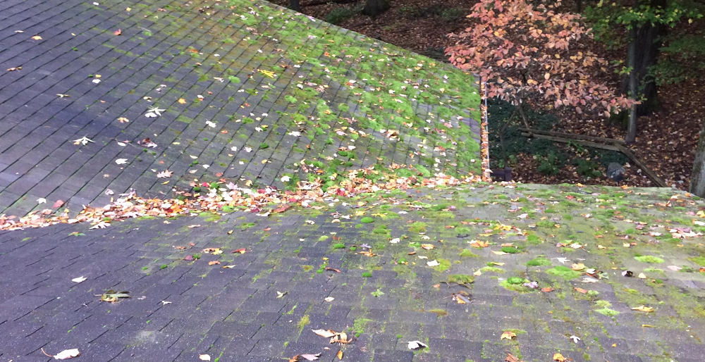 Roof moss that has attached to the shingles on a roof